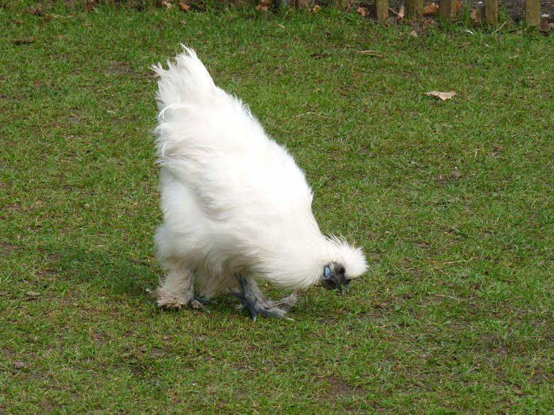 Poule blanche animallamina for Poule soie blanche prix