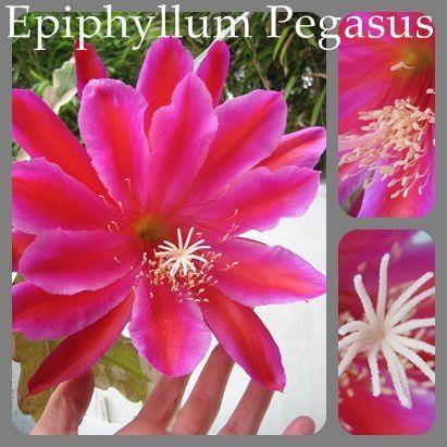 FLEUR-EPYPHYLLUM-PICASUS.jpg