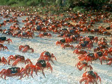 CIAred-crabs.jpg