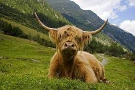 highlands-vache.jpg