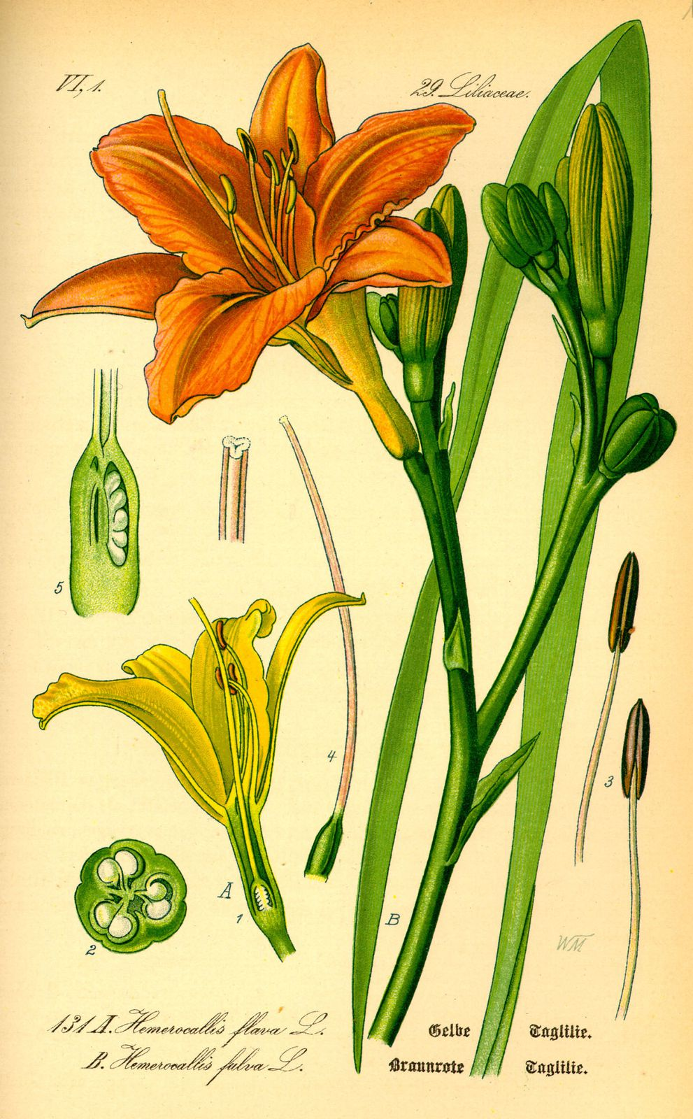 Illustration Hemerocallis fulva0