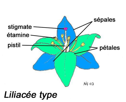 liliacee type avec legende couleurs