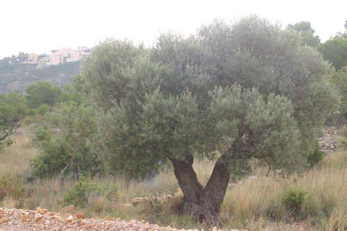 113-Des-oliviers-Peniscola.jpg