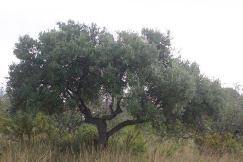114-Des-oliviers-Peniscola.jpg