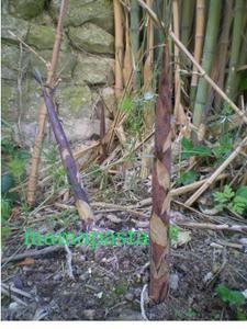 Qui sait cuisiner des pousses de bambous help le - Comment cuisiner les pousses de soja ...