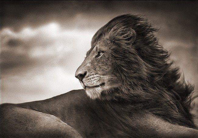 Lion_par_Nick_Brandt