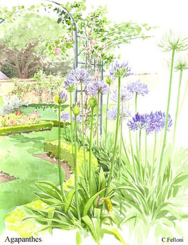 agapanthes-copie-1.jpg