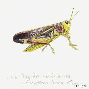 arcyptera.jpg