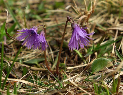 soldanella-alpina1595.jpg