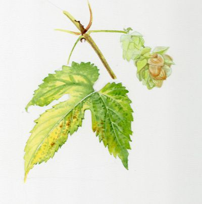 houblon-gussignies-ob.jpg