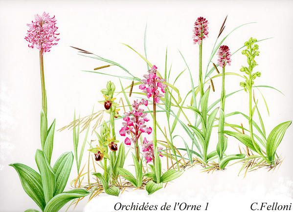 orchidee sauvage orne
