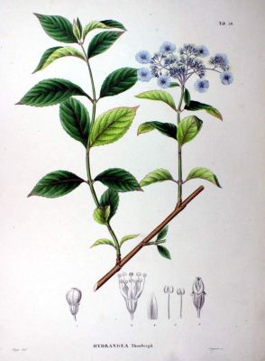 normal_Hydrangea-thunbergii-69.jpg