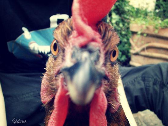 poule.jpg