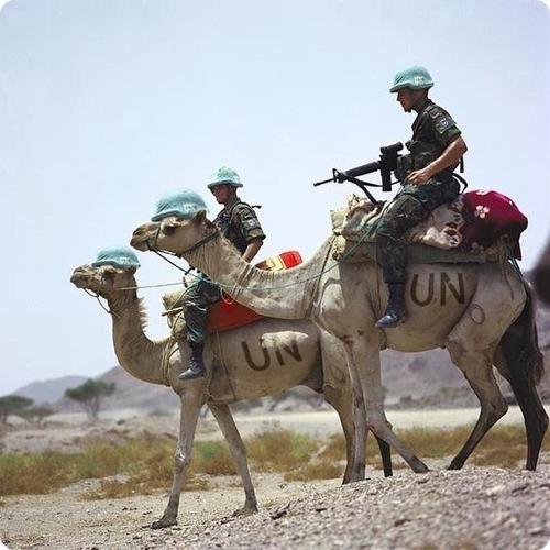 Dromadaires UN