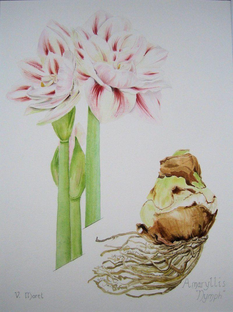 Amaryllis aquarelles et huiles v ronique moret for Arrosage des amaryllis