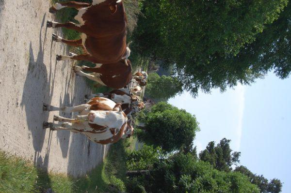Vaches-Bugeac.jpg