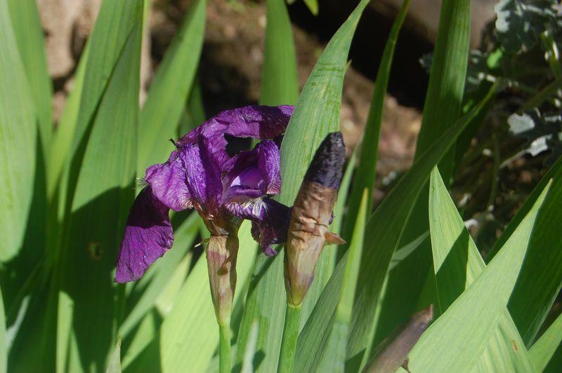 Premier-Iris-du-jardin.jpg