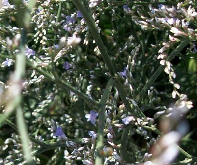 gypsophile petite fleurl