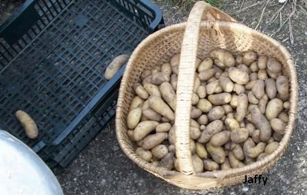 recolte-patate-2010-03.jpg