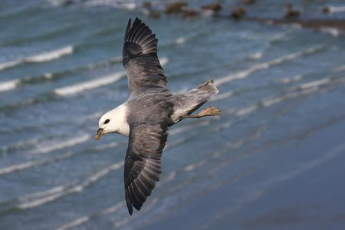 p-trel-fulmar--wimereux--janvier-2008-photo-1-blogg.jpg