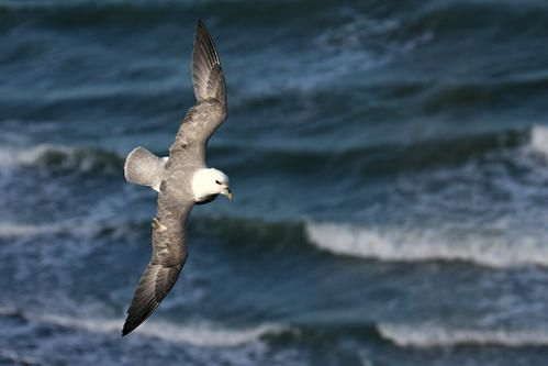 p-trel-fulmar--wimereux--janvier-2008-photo-8-blogg.jpg
