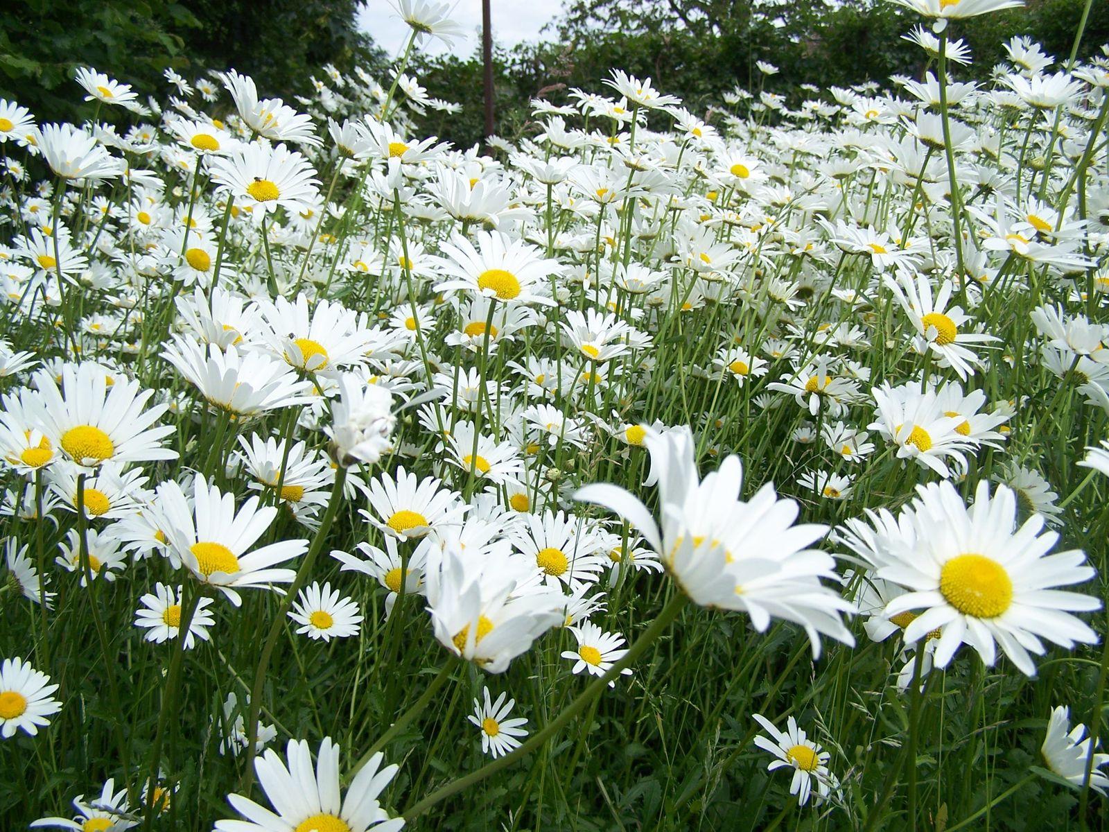 Les fleurs du jardin le blog de petite f e for Jardin de fleurs blanches