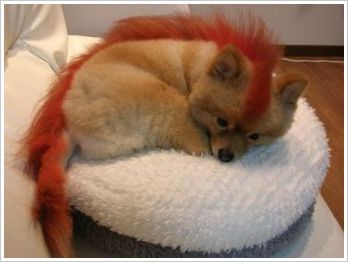chien-fire-fox.jpg
