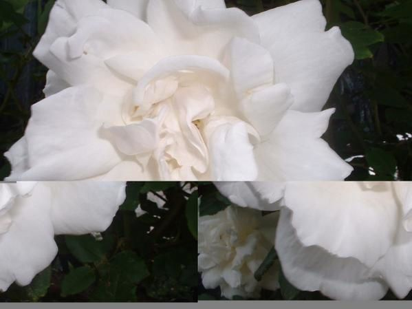 rose-ancienne-blanche-2.JPG