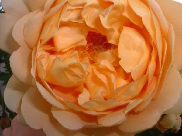 rose-triple-orange.JPG