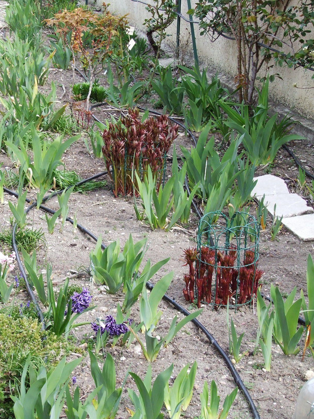 Desherbant iris le jardin des iris du barry pour Desherbant jardin