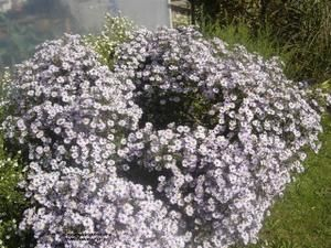 Aster-Cordifolius-Photograph1--Small-.JPG