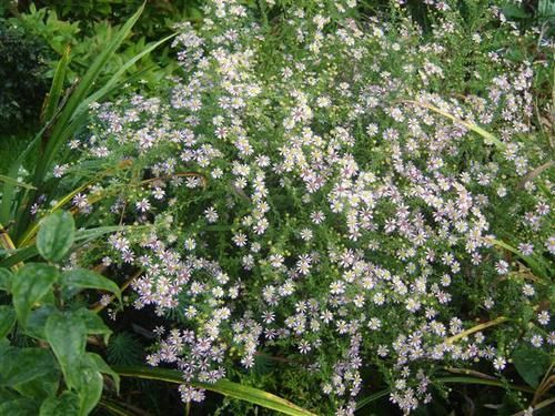 Aster-Ericoides-Lovely--Small--copie-1.JPG