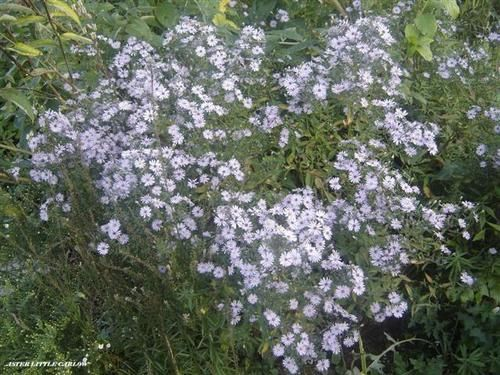 Aster-Little-Carlow1--Small-.JPG