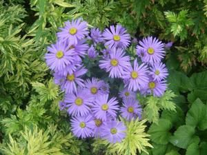 Aster-amellus-Mira--Small-.JPG