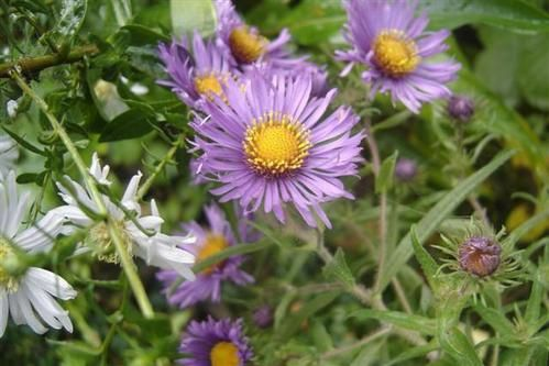 Aster-na-Ryroft-Purple0--Small-.JPG