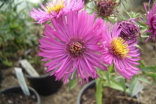 Aster-na-Wow--Small-.JPG