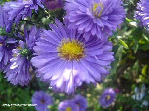 Aster-nb-Adventide1--Small-.JPG
