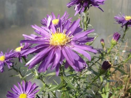 Aster-nb-Chequers--Small-.JPG