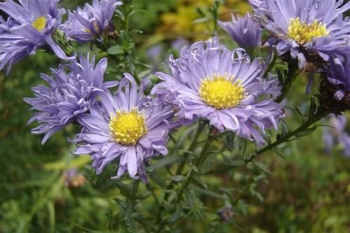 Aster-nb-Davey-True-Blue--Small-.JPG