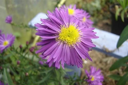 Aster-nb-Furtadal--Small-.JPG