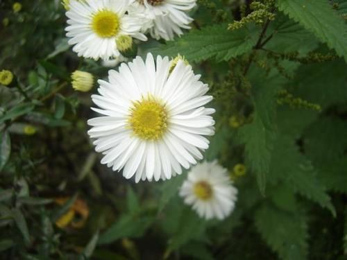 Aster-nb-White-Lady--Small-.JPG