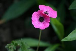 Geranium-Cinereum-splendens--Small-.jpg