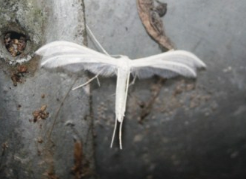 pterophore-blanc.PNG