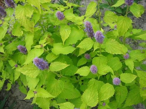 Agastache-Golden-Jubilee--Small-.jpg