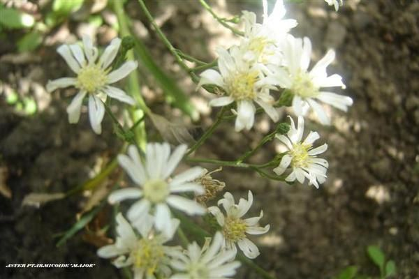 Aster-Ptarmicoide-Major--Small-.JPG