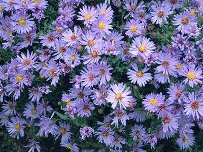 Aster-Dumosus-Wood-s-light-blue-400.jpg