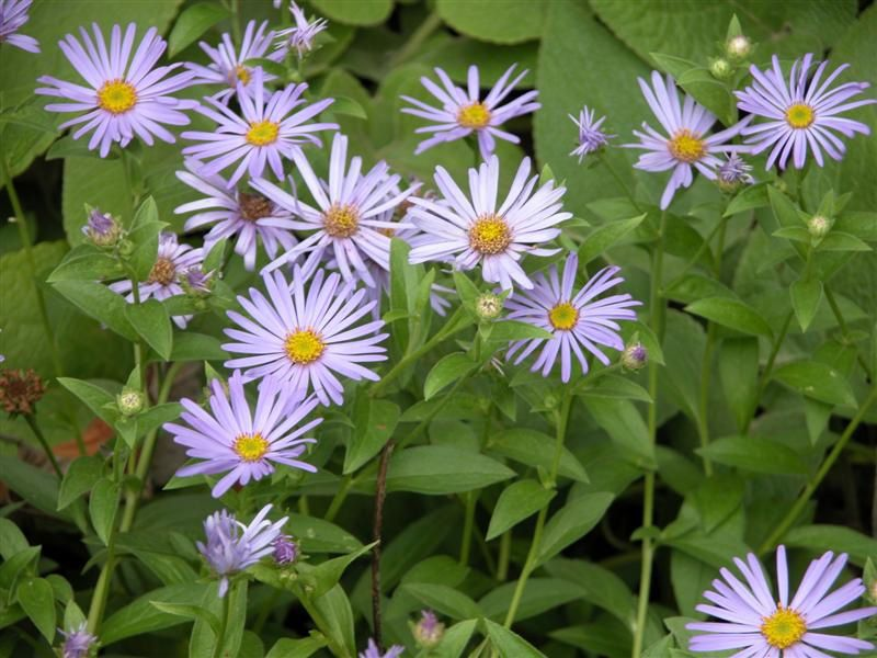 Aster-X-frikartii--Monch----Medium-.jpg