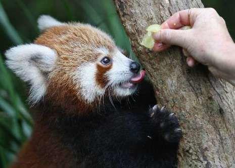 Zohra Dati n'est toujours pas un panda roux
