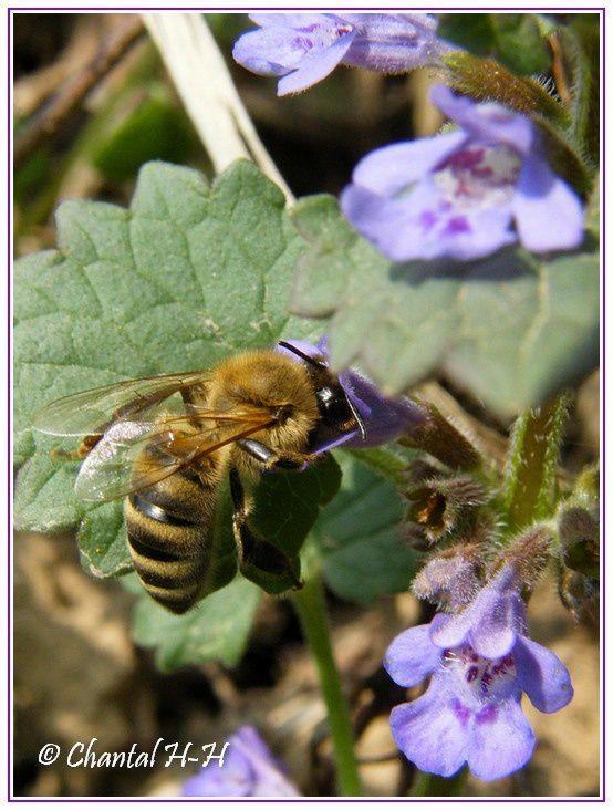 abeille-butinant-fleur-lierre-terrestre_5368.jpg