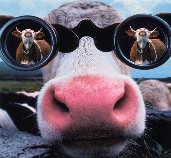 399 - Vache curieuse